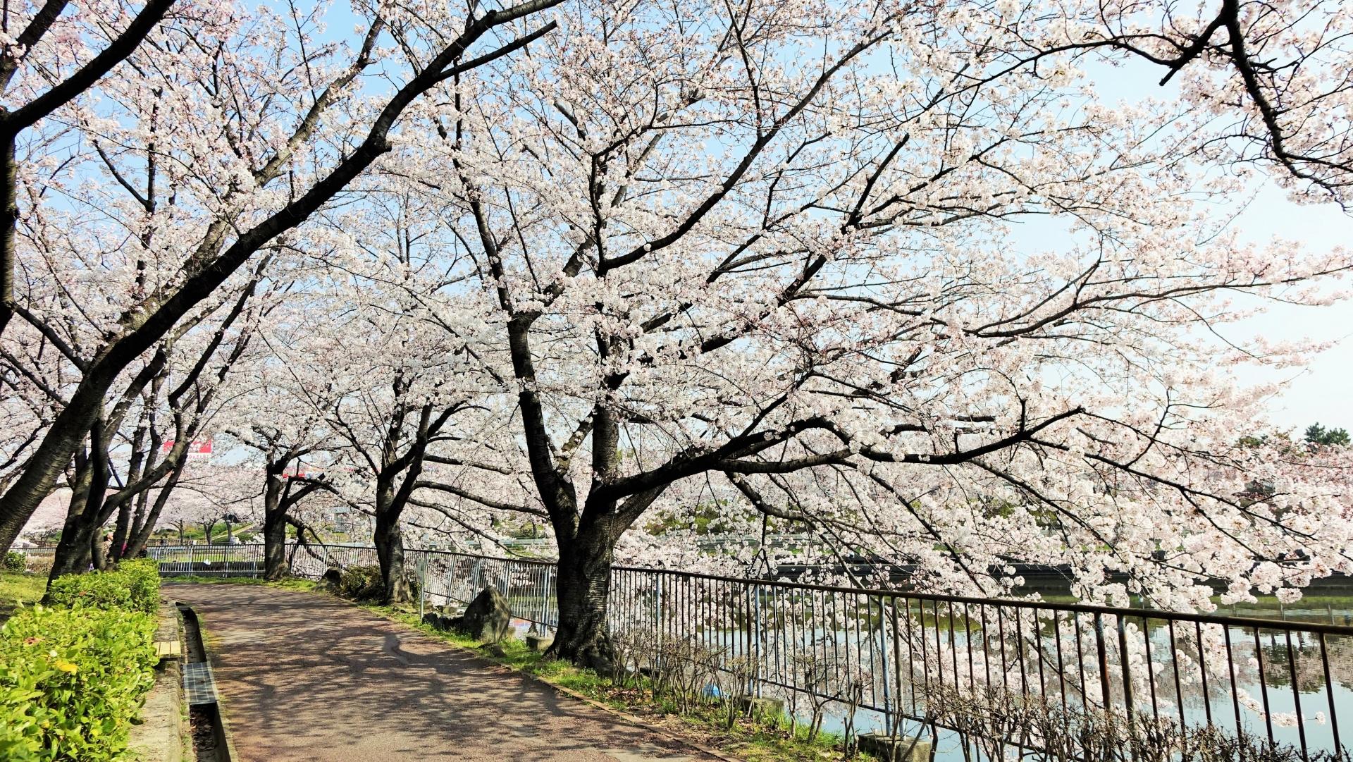 桜 荒子川公園 名古屋市港区(荒子川公園駅イメージ)