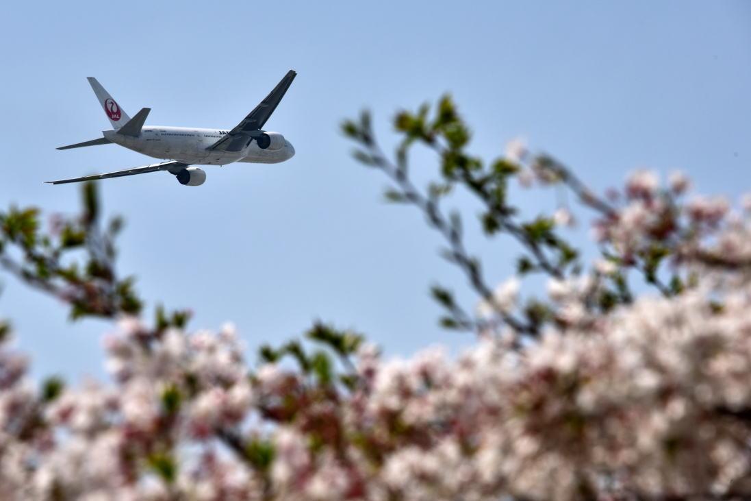 JAL・飛行機・桜・サクラ