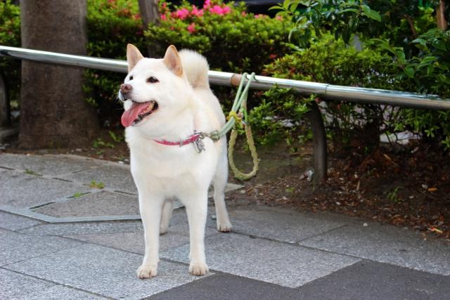 ソフトバンク・白い犬